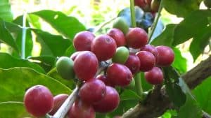 Read more about the article Bolivian Coffee in Grains