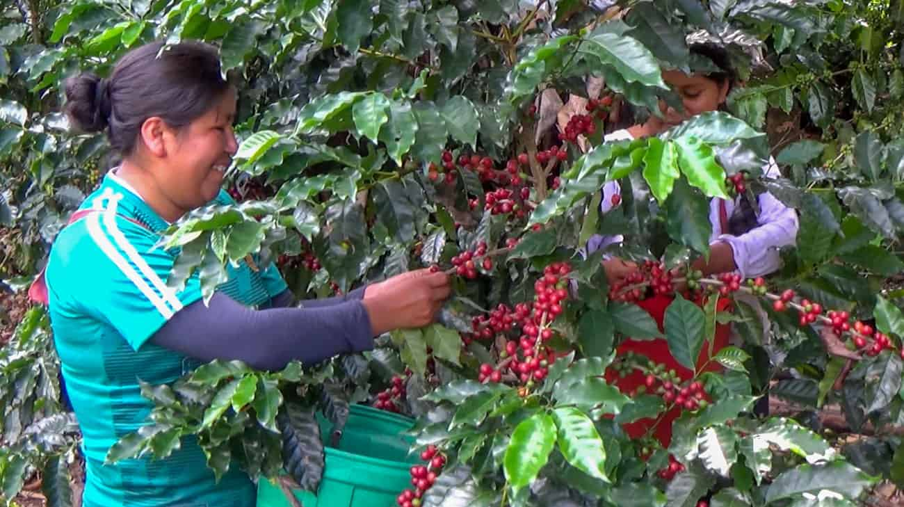 You are currently viewing Coffee – Encyclopedia Bolivia Agropecuaria